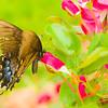 Shaggy Butterfly