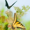 Two Butterflys