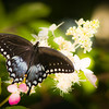Soft Blue Butterfly