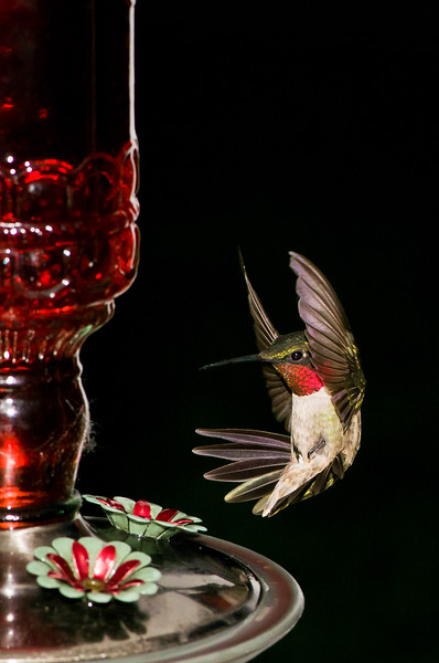 """<div align=""""center""""> <H2>Hummer Brake & Back Up</H2> <br/> </div> <div align=""""justify""""> My second fave from this hummer shoot. Not sure how to spell errrrttt… but looks like quick brakes to me :-) I absolutely adore watching these little hummers and waste way to much time doing so. Currently I have 3 feeders out on separate sides of the house so they speed around it racing and  fighting for dominion. For this shot I was sitting on the front porch swing about 2-3 feet from the feeder using my 105 Macro and an on camera speed-light bounced with diffusion. I'm sure the people driving by think I've totally lost my mind… they can't see the hummers but they see me sitting there with camera to face for what could be hours jerking back & forth, forwards & backwards… not a pretty site I'm sure but certainly fun for me ~ LOL. Love, Hugs & Laughter Always!!! <br/> <a href=""""http://www.co-bear.com/Portfolio/Animal-Pets-Wildlife/Hummingbirds"""" > Click here to see a few more from this shoot! </a> <br/> </div>"""