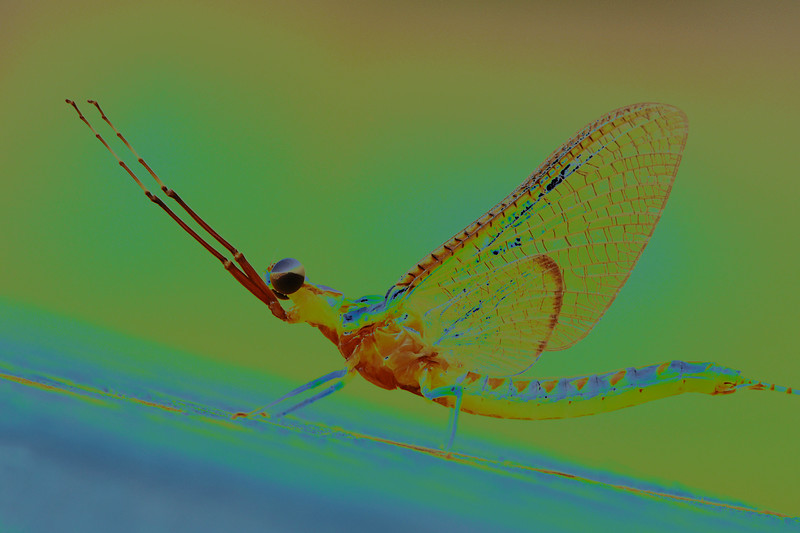 Adult Psychedelic Mayfly - Ephemeroptera<br /> <br /> Created while playing with blending modes in photoshop. I'm thinking this could make a cool fisherman t-shirt - whatdaya think?