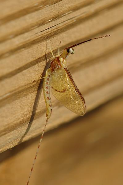 Adult Mayfly - Ephemeroptera