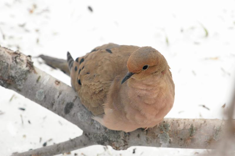 I'm So Pretty!<br /> Mourning Dove - Zenaida macroura