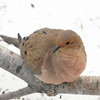 I'm So Pretty!<br /> Mourning Dove - Zenaida macroura