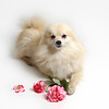 Dorin your such a doll! ~ Blonde Pomerainian Dog Portrait