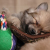 Pomerian puppy in a boot!<br /> Sleep tight little puppy and sweet dreams.