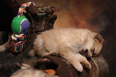 A pom puppy story