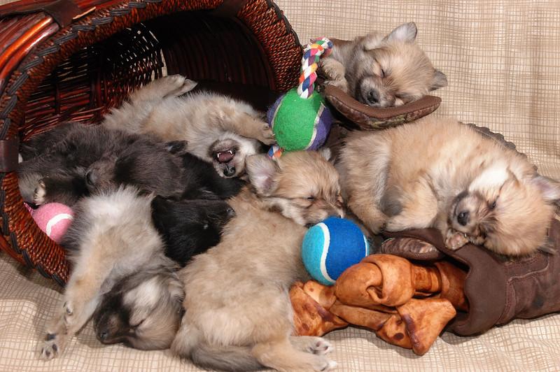 7 baby pomerainian puppies sleeping sound at last