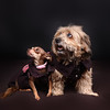 All dressed up doggie pet portrait