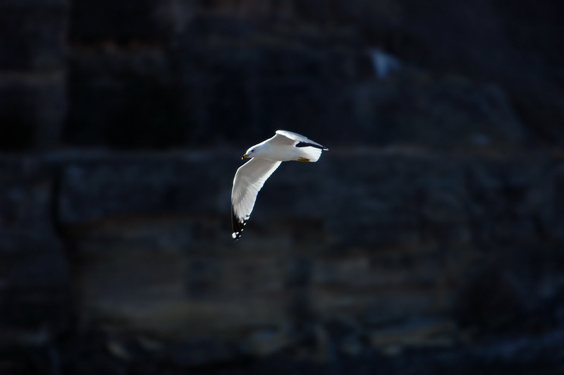 Ring-billed Gull ~ Larus delawarensis
