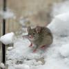 Snow Mouse 2