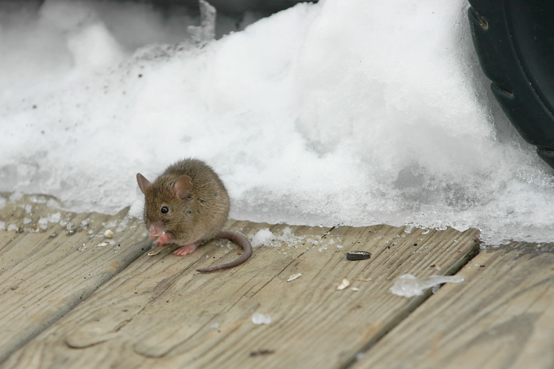 """Snow Mouse 6""<br /> Hey thoses seeds were for the birds ;("