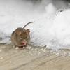 Snow Mouse 4