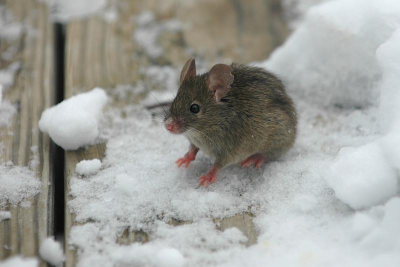 Snow Mouse 1