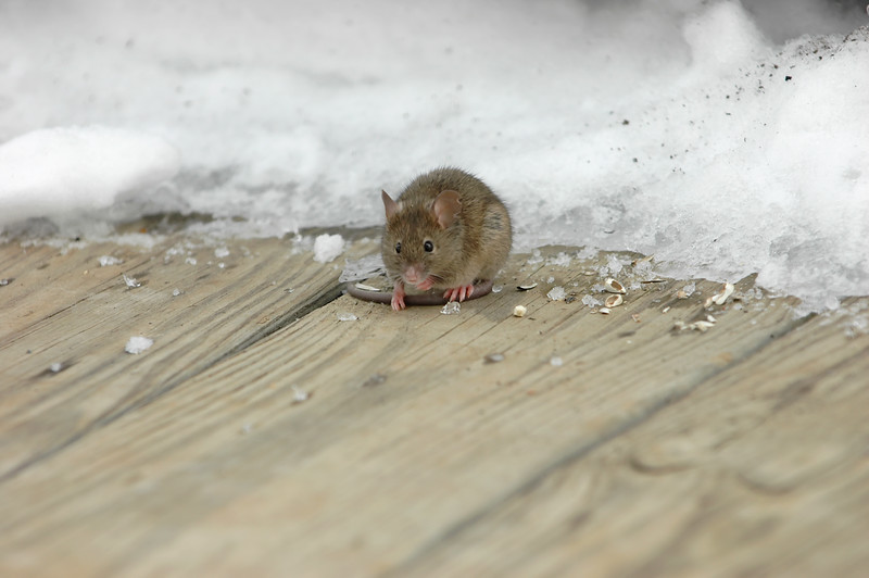 """""""Snow Mouse 8""""<br /> Sneaking back for more seeds huh???"""