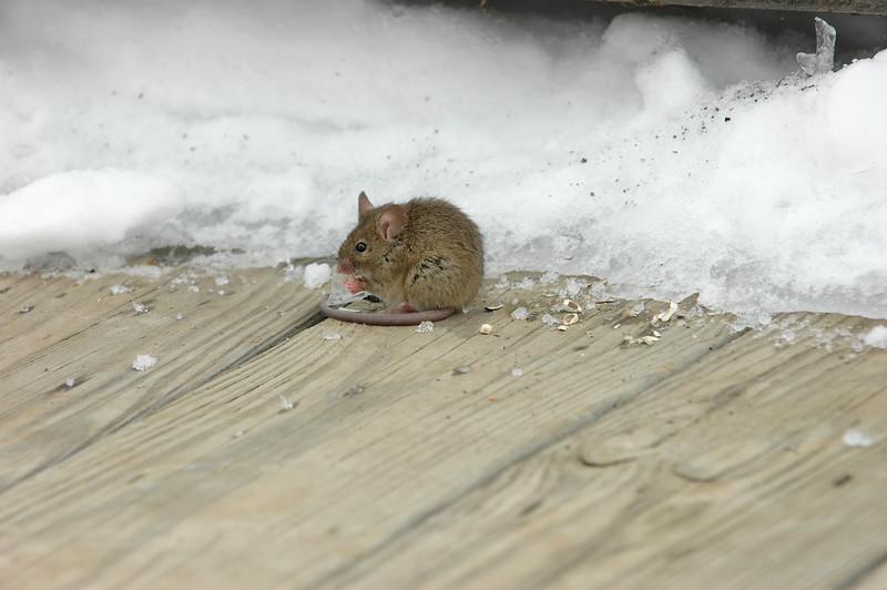 Snow Mouse 7