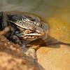 Leopard Frog - Rana pipiens complex