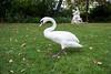 Swan strolling