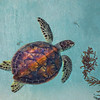 Green Turtle with Sargassum
