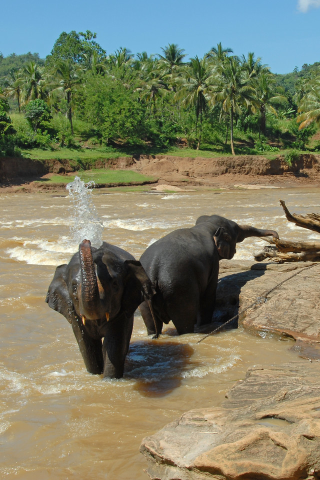 Elephants bathing in the river. Sri Lanka