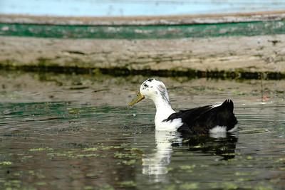 Duck in the Dal Lak, Kashmir, J&K, India