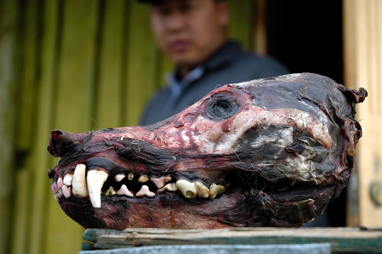 Skinned wolf head as seen outside a house in the gobi deserts of Mongolia.