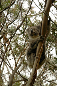 Eco Platypus Tours took us to a wild Koalas watching area enroute the Twelve Apostles. This place is on the Great Ocean road.