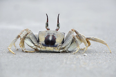 Soon the crab got bored of us and went back into the waters at the beach in Langkawi, Malaysia