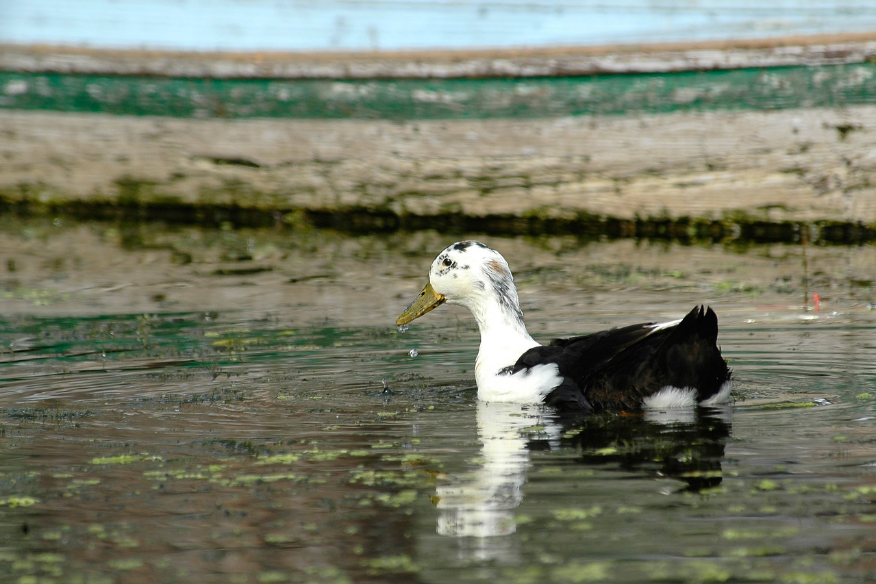 Duck in the Dal Lak, Kashmir, J&K, India