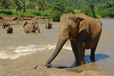 Elephants from an orphanage in Sri Lanka seen bathing and frolicking in the river water.