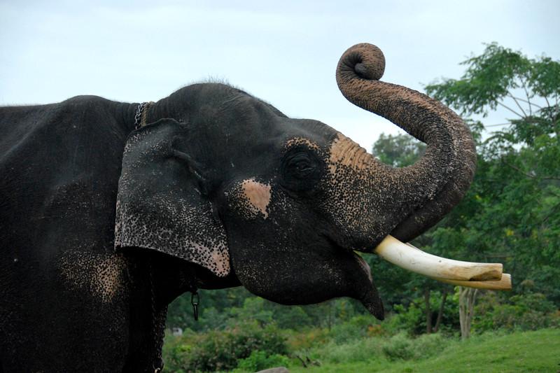 The elephants just outside Mudumalai Wild Life Sanctuary, Tamil Nadu, India, July 2007.