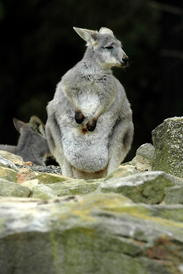 Animals at a park in Wollongong. <br /> <br /> The Koala is found in coastal regions of eastern and southern Australia. At birth, a baby Koala who is referred to as a joey is hairless, blind, and earless.<br /> <br /> Other than Koalas, many native, exotic and farmyard animals could be seen. The animals can be seen in native bushland gardens and some could also be petted. New South Wales, NSW, Australia