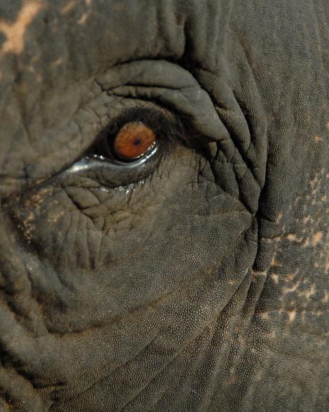 Elephant Eye.