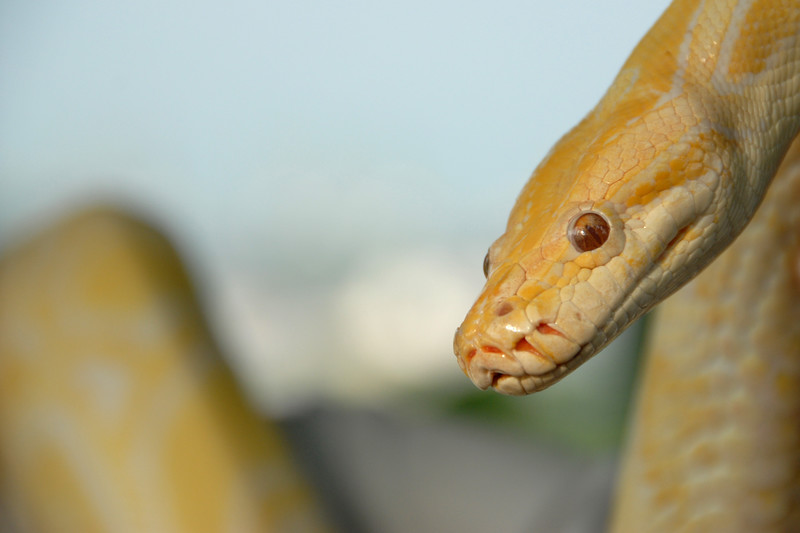 Yellow Snake. Image shot in Sentosa Island, Singapore