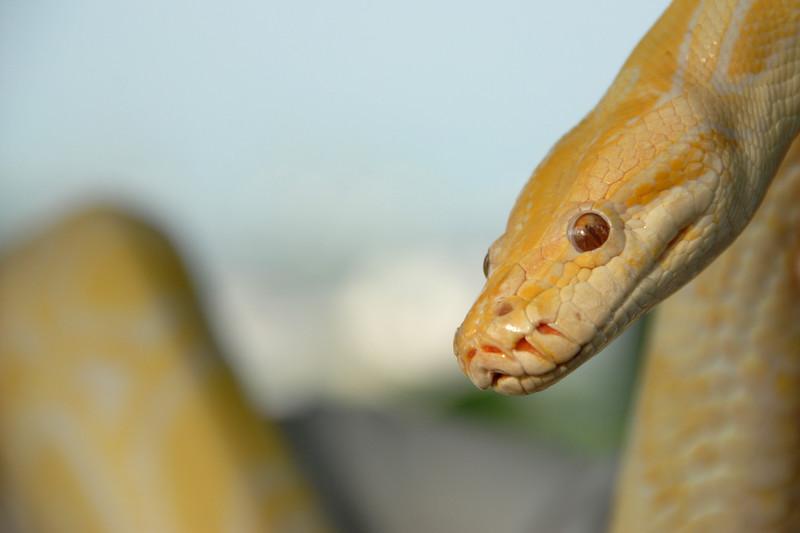 Yellow Snake. Image shot in Sentosa Island, Singapore
