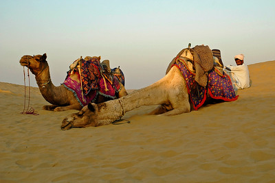Camels in Sam Desert, Rajasthan. India.