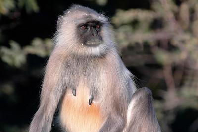 Monkey seen in Ajmer, Rajasthan