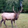 Roservelt Elk