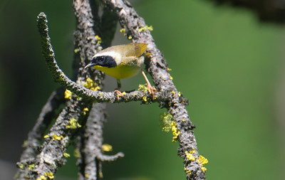 Common Yellow Throat