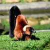 Red Rruffed Lemur