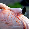 Chilian Flamingo