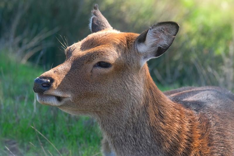 Barasingha Swamp Deer