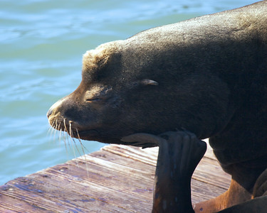 Sea lion, Pier 39.