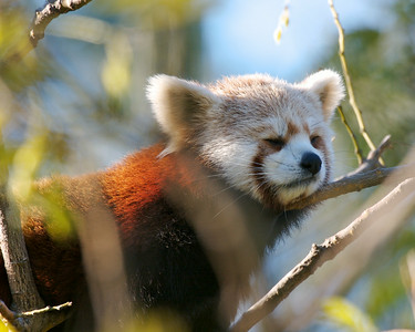 Red Panda napping.