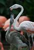 Flamingos feeding.