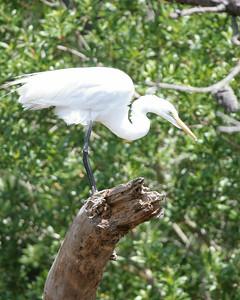 Great Egret spots its prey.