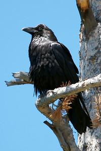 Common Raven.
