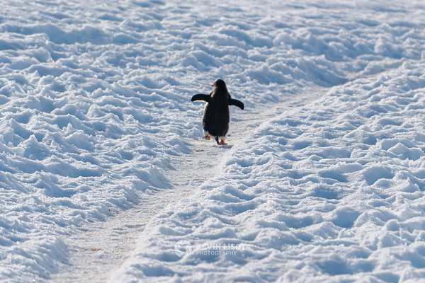 Gentoo penguin climbs a trail