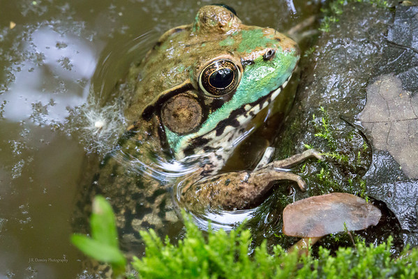 Frog Pond Frog