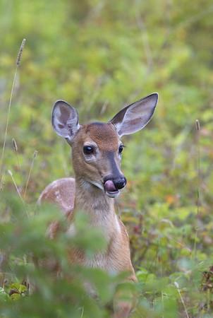 White-tailed deer (Odocoileus virginianus) - Parc National du Bic (Canada)